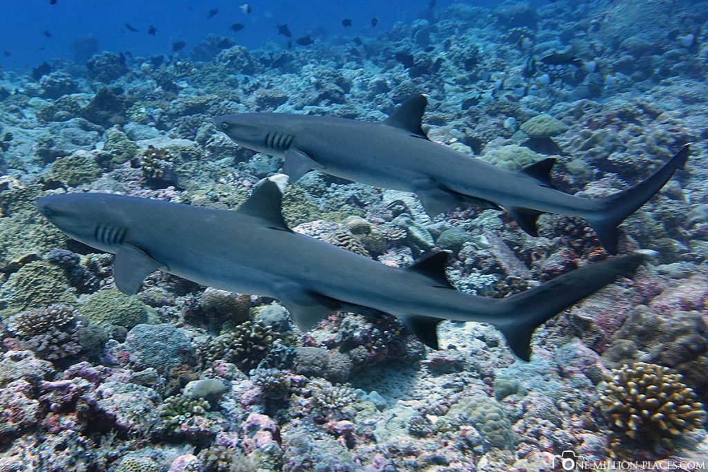Luxury liveaboard Indonesia, Diving in Kri Island